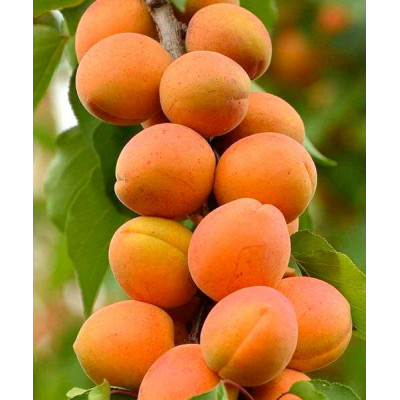 Колоновидный абрикос Солнечное лето