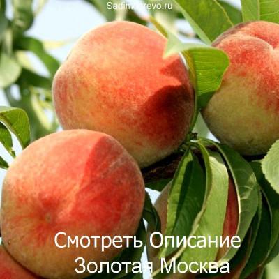 Персик Золотая Москва