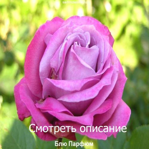 Саженцы Роз Блю Парфюм - фото и описание
